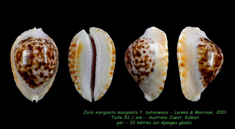 Zoila marginata marginata f. bataviensis - Lorenz & Morrison, 2001 Margin12