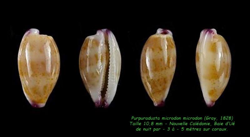 Purpuradusta microdon microdon - (J.E. Gray, 1828) Microd10