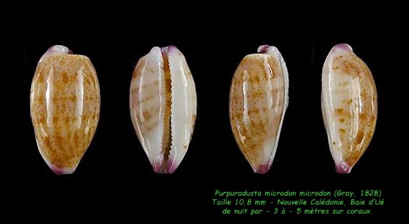 Purpuradusta microdon microdon - (J.E. Gray, 1828) Microd11