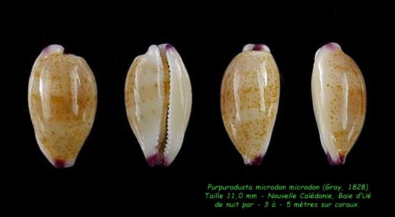 Purpuradusta microdon microdon - (J.E. Gray, 1828) Microd12