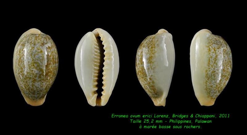 Erronea ovum erici - Lorenz, Bridges & Chiapponi, 2011  Ovum_e12