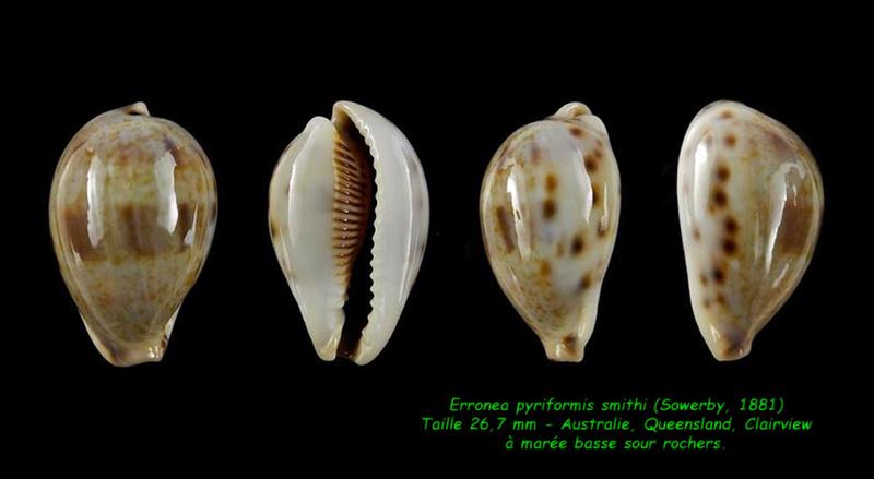 Erronea pyriformis smithi - (Sowerby, 1881) Pyrifo10