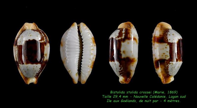 Bistolida stolida crossei - (Marie, 1869) Stolid12