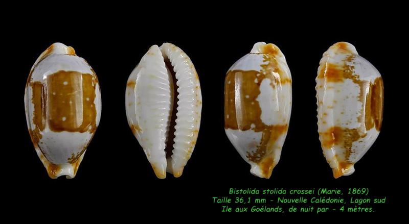 Bistolida stolida crossei - (Marie, 1869) Stolid14
