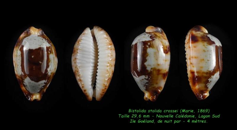 Bistolida stolida crossei - (Marie, 1869) Stolid15