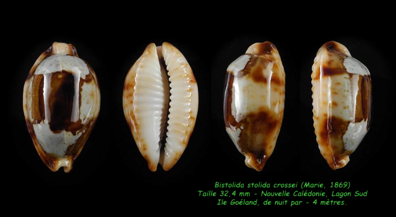 Bistolida stolida crossei - (Marie, 1869) Stolid16