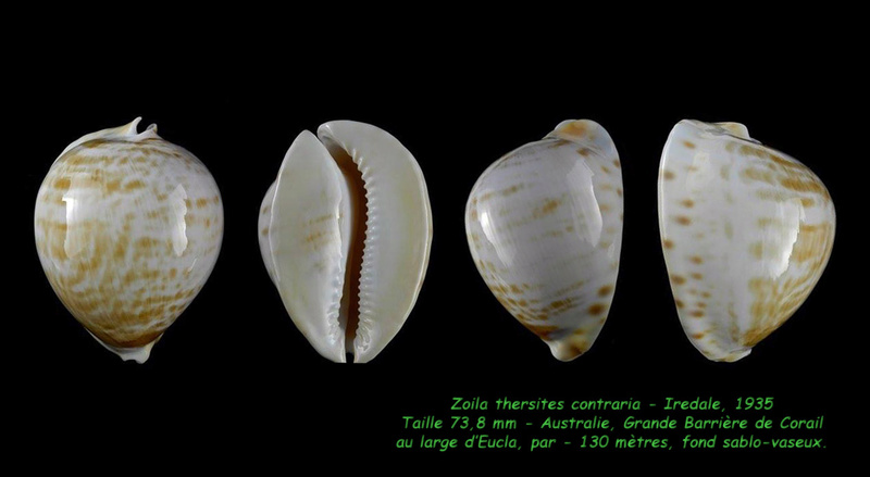 Zoila thersites contraria - Iredale, 1935  Thersi11