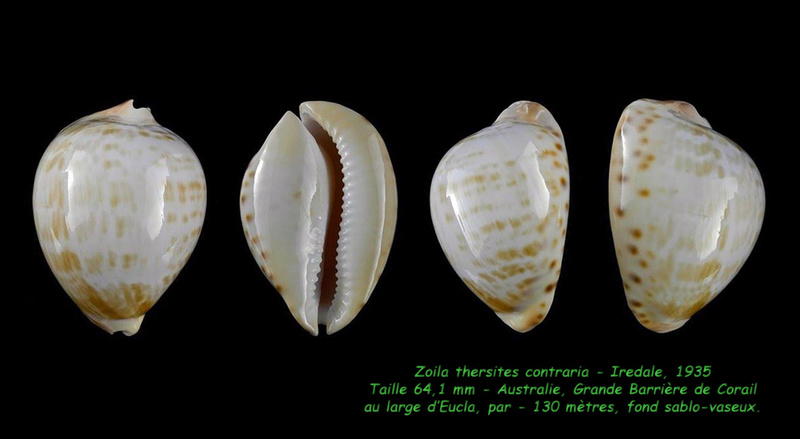 Zoila thersites contraria - Iredale, 1935  Thersi12