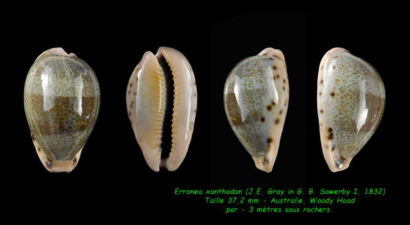 Erronea xanthodon - (J.E. Gray in G. B. Sowerby I, 1832) Xantho10