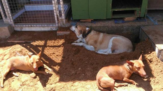 Canis Thor(Gedeeltelijke adoptie) 13233010