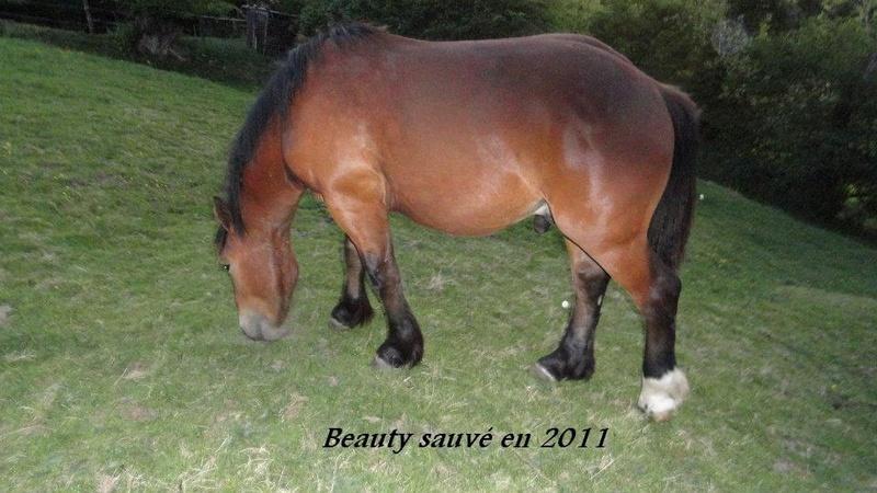BEAUTY - Cheval de Trait Breton X Percheron - adopté en novembre 2011 par Sylvie  - Page 3 2012_511