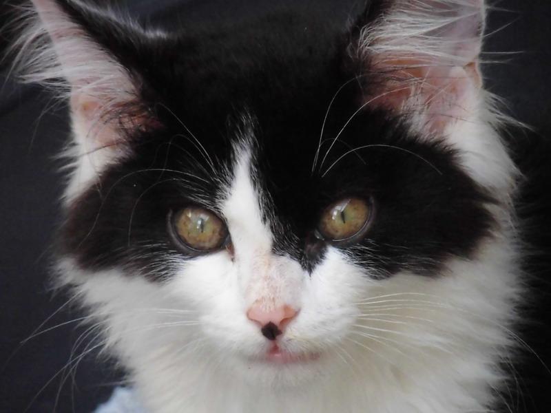 IVAN gentil chaton noir et blanc poil mi long (59) Cimg0414