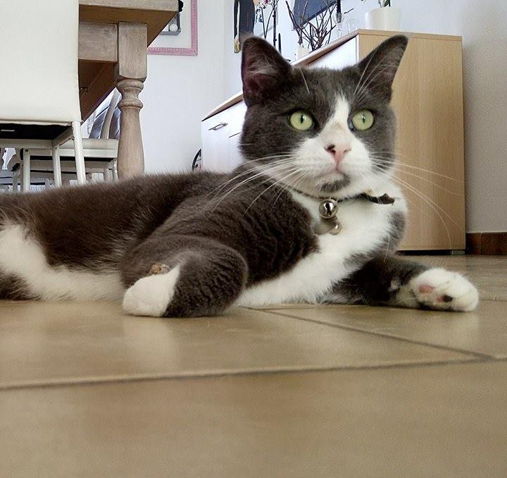 PERDU chat à Avesnelles (59440) Jango10