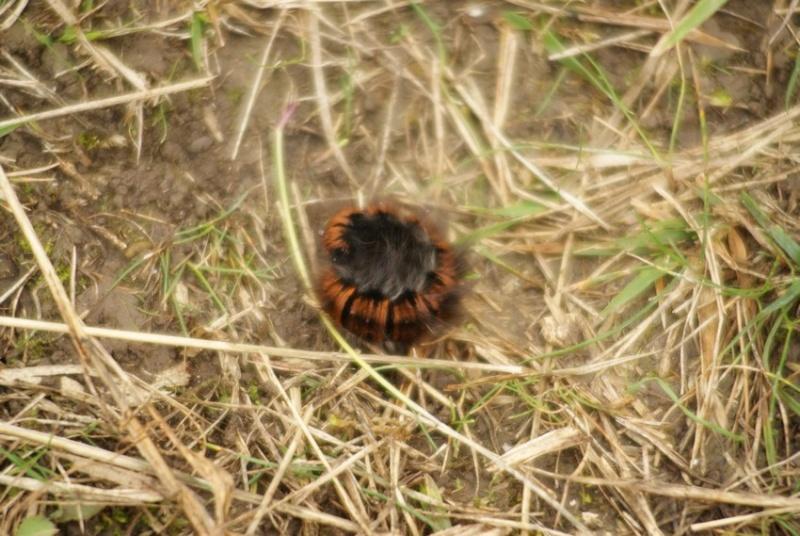 Chenille de lasiocampidae ? [Lasiocampa trifolii et Macrothylacia rubi] Photo_11