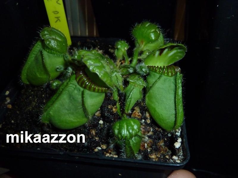 "Cephalotus ""Adrian Slack"" P1020610"