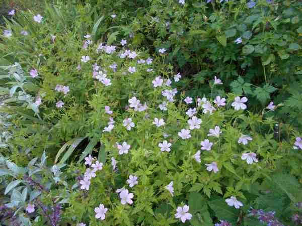 Le jardin en rose ! Dscn4328