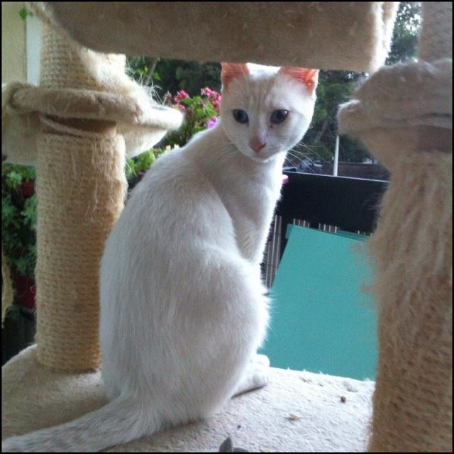 MALIBU chat blanc 13514510