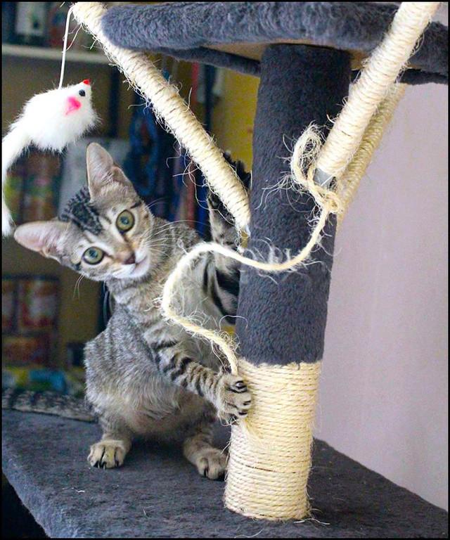 MOLLY chatonne à l'adoption 13652310