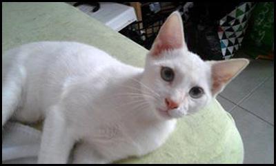 MILK chaton blanc 14034810