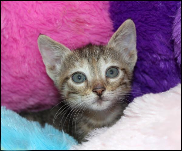 MARC chaton 2 mois à l'adoption Img_4224