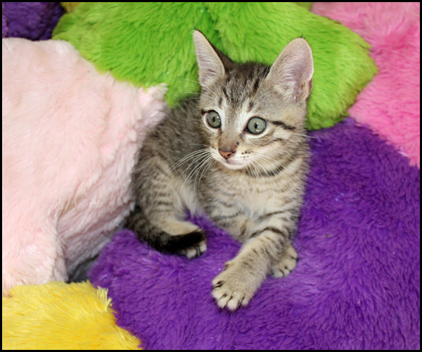 MARC chaton 2 mois à l'adoption Img_4225