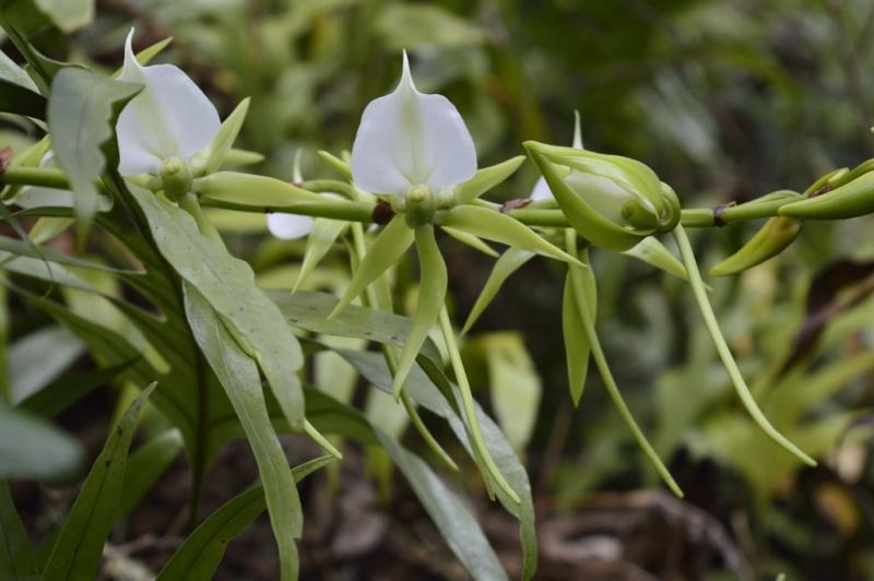 Angraecum eburneum Angrae11