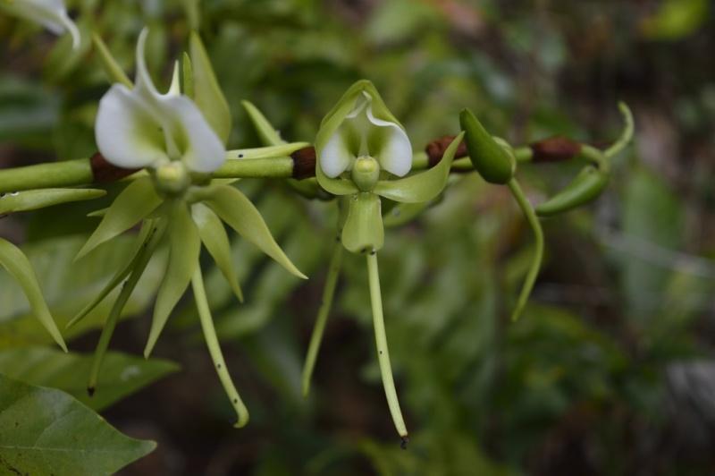 Angraecum eburneum Angrae13