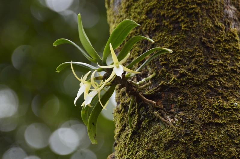 Angraecum liliodorum Angrae16