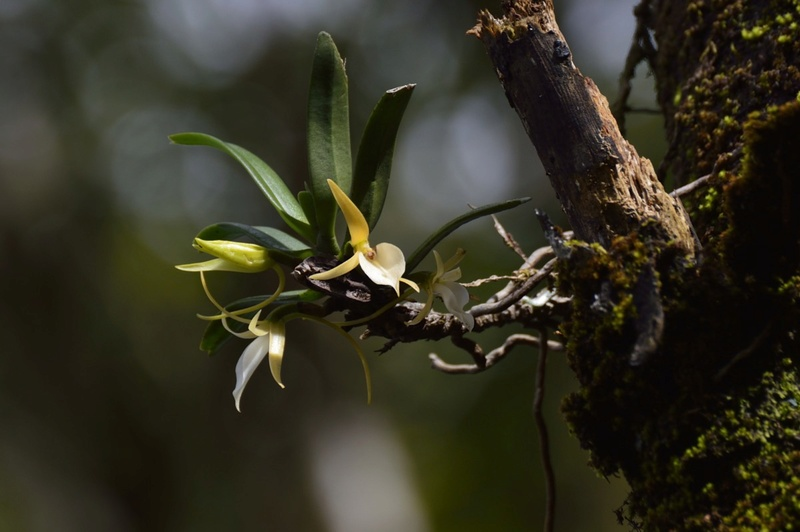 Angraecum liliodorum Angrae17