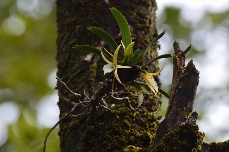 Angraecum liliodorum Angrae18