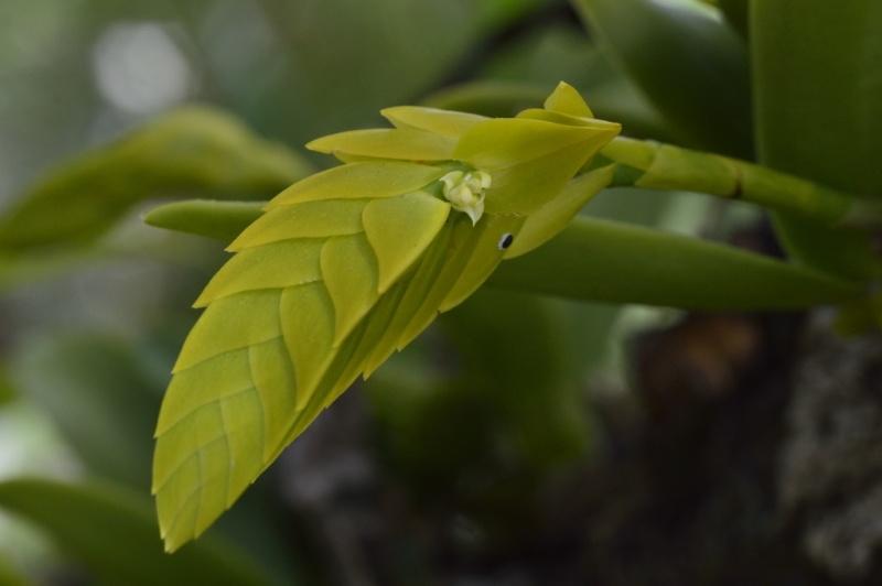 Angraecum eburneum Bulbop11