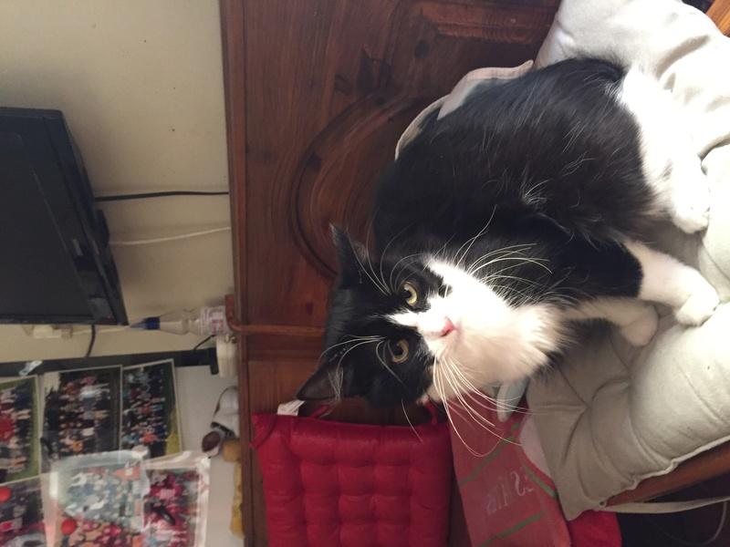 Trouvé chatte noire et blanche, allée de l'Artois à Colomiers File112