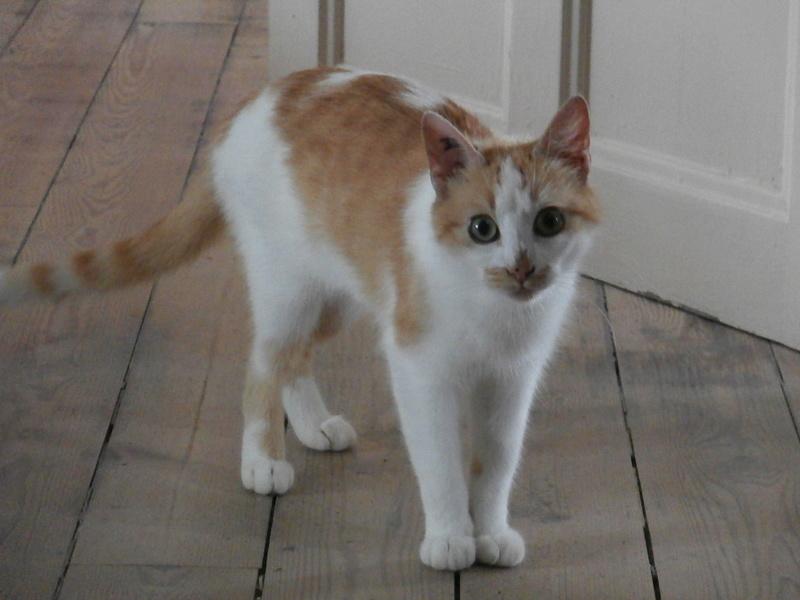 GOLDY, femelle de type européen rousse et blanche, née en 2011 P7120010