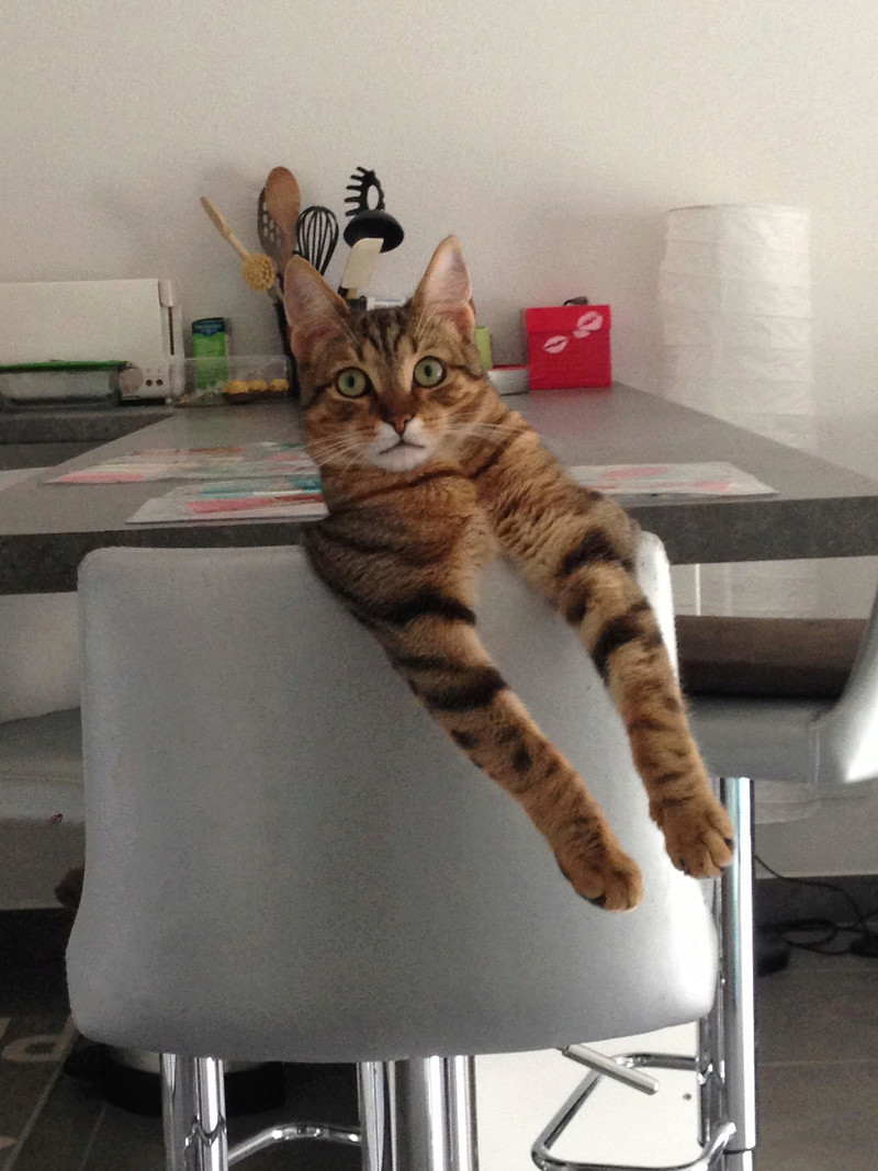 Ludwig mâle tigré fauve né le 6 mai 2015 Unname10