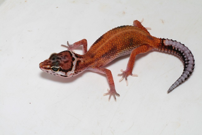 projet gecko leo - Page 2 L1stri10