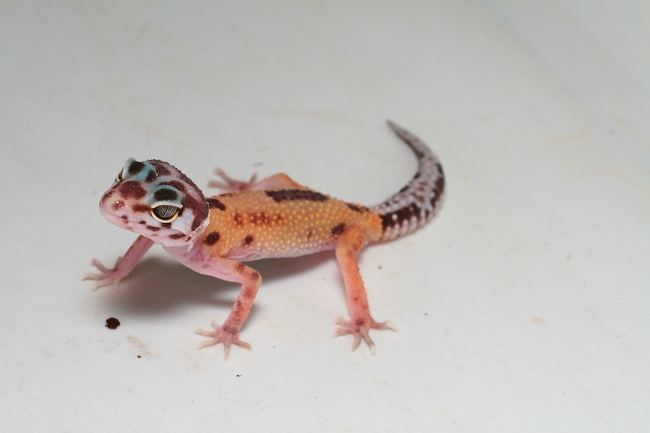 projet gecko leo - Page 2 Revers10