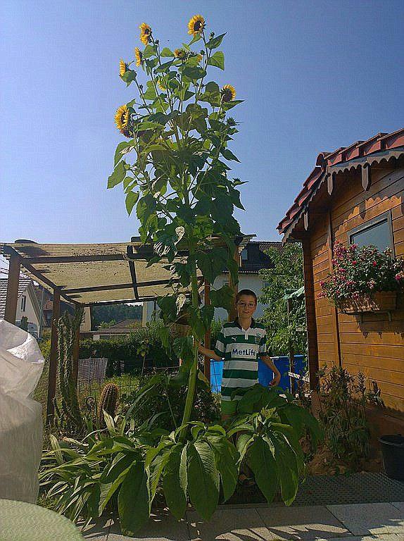 Sonnenblumen(artige) - Heliantheae - Seite 2 Mutant10