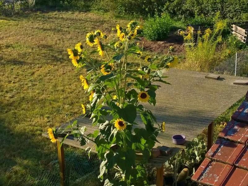Sonnenblumen(artige) - Heliantheae - Seite 2 Sonnen11