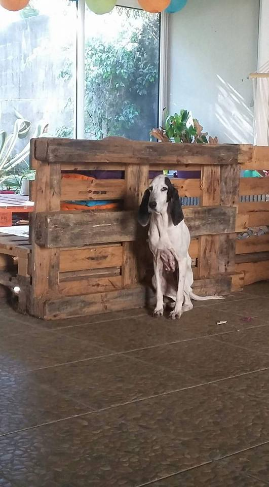 CHENOA chienne x ariegeois ?  sortie de la rue à La Réunion - en FA pour  asso SOS chiens de France (95) 13872710