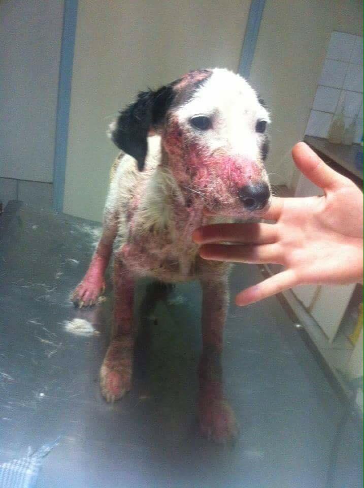 JOoo, x jack russel 6 mois - chien trouvé blessé à La Réunion - asso Sos Chiens France 13872810