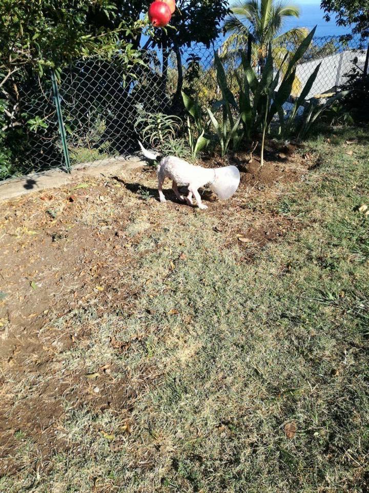 JOoo, x jack russel 6 mois - chien trouvé blessé à La Réunion - asso Sos Chiens France 13895110