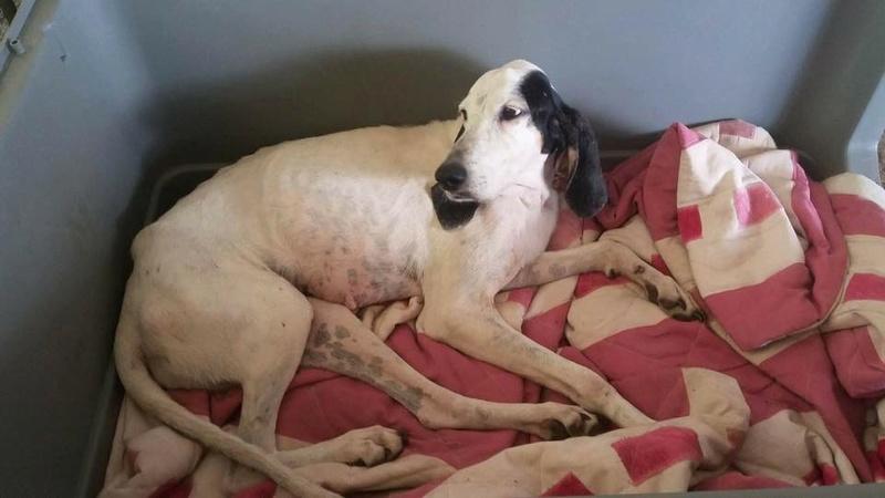 CHENOA chienne x ariegeois ?  sortie de la rue à La Réunion - en FA pour  asso SOS chiens de France (95) 13900210