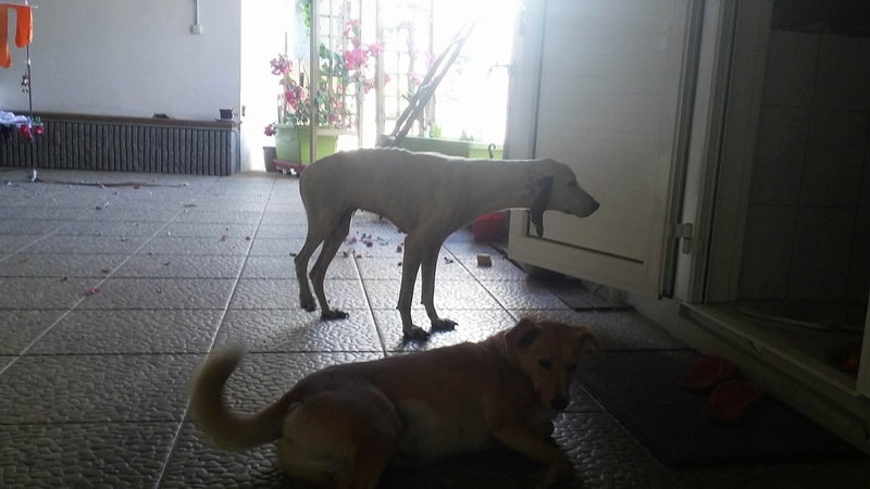 CHENOA chienne x ariegeois ?  sortie de la rue à La Réunion - en FA pour  asso SOS chiens de France (95) 13908810
