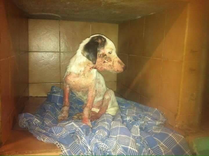 JOoo, x jack russel 6 mois - chien trouvé blessé à La Réunion - asso Sos Chiens France 13912310