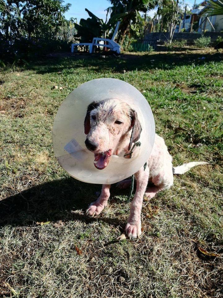 JOoo, x jack russel 6 mois - chien trouvé blessé à La Réunion - asso Sos Chiens France 13935110