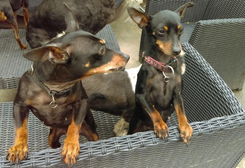 Adoption Nina femelle pinscher retraitée d'élevage de 9 ans (60) 82222210
