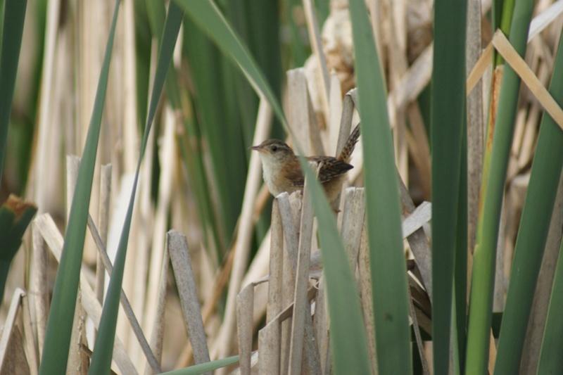 Troglodyte des marais Parc_d25
