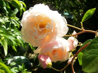 Rosa 'The Generous Gardener' ! Photo131