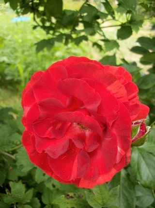 Rosa 'Brownie' !!! Photo177