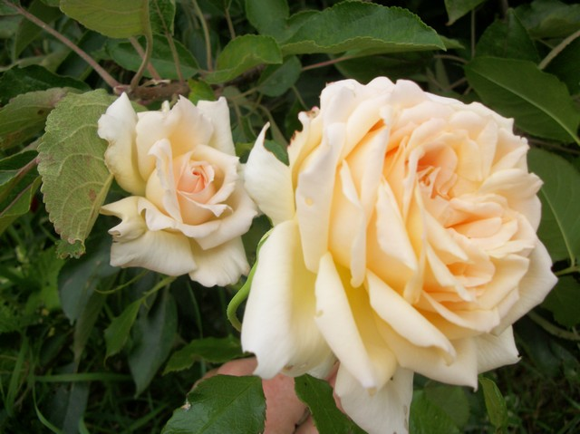 rosier sweet love Photo193